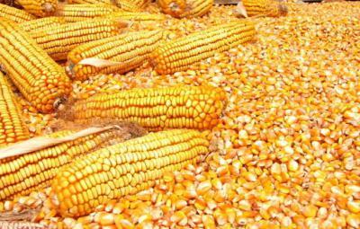 玉米种子烘干工艺